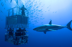 Shark views divers in cage off Cape Town