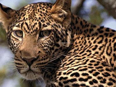 Kruger Park Big 5 Leopard