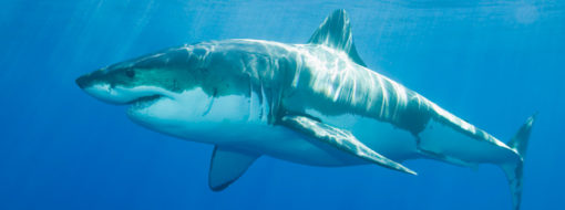 Great White Shark cage diving tours