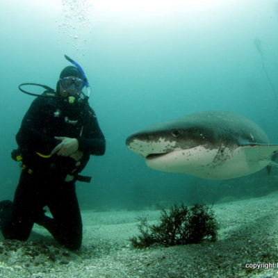 Scuba Diving with Seven Gill Cow Shark