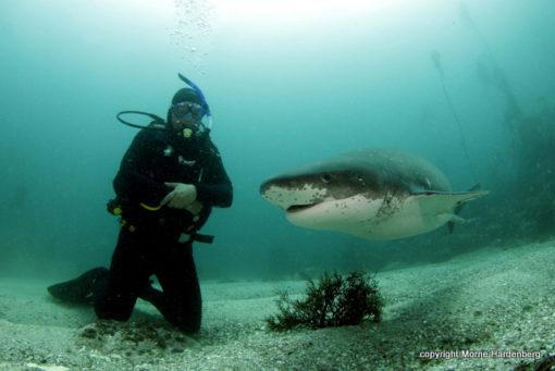 Scuba Diving with Seven Gill Cow Shark