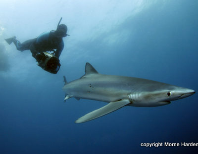 Mako and Blue Shark Diving