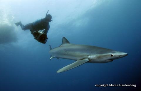 Mako and Blue Shark Diving