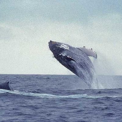 Whales breaching in Hermanus, South Africa